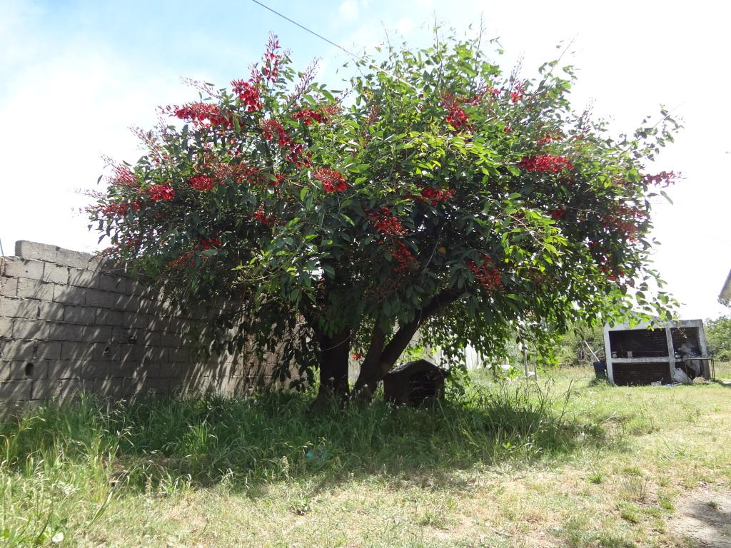 Nationalbaum Uruguay Ceibo