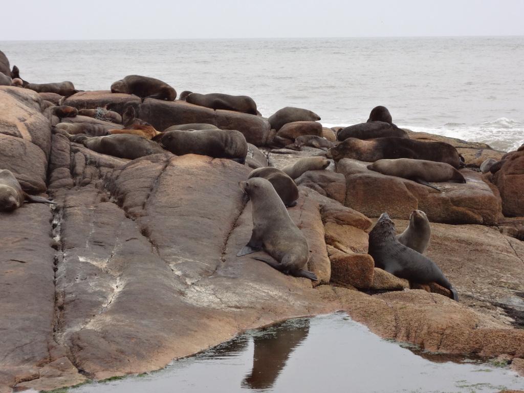 Seelöwen hautnah im Cabo Polonia Nationalpark Uruguay