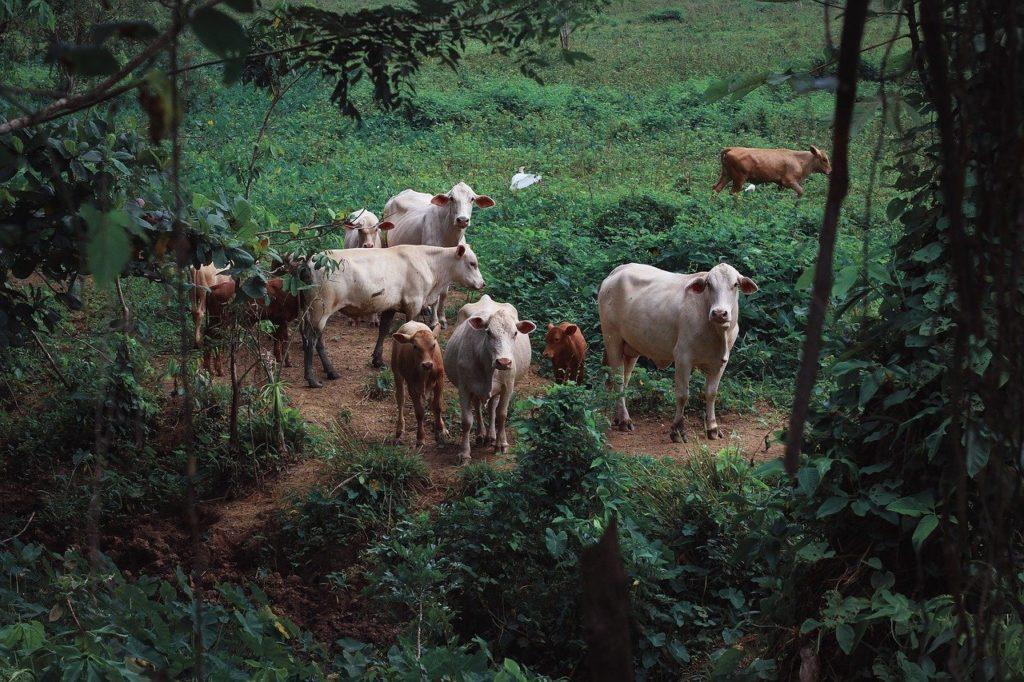 Uruguay Rinderzucht und Rendite